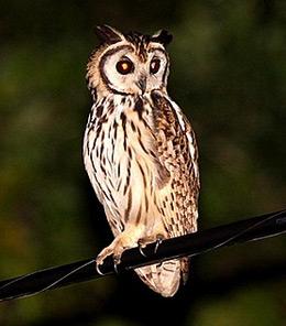 nighttime birding - owl